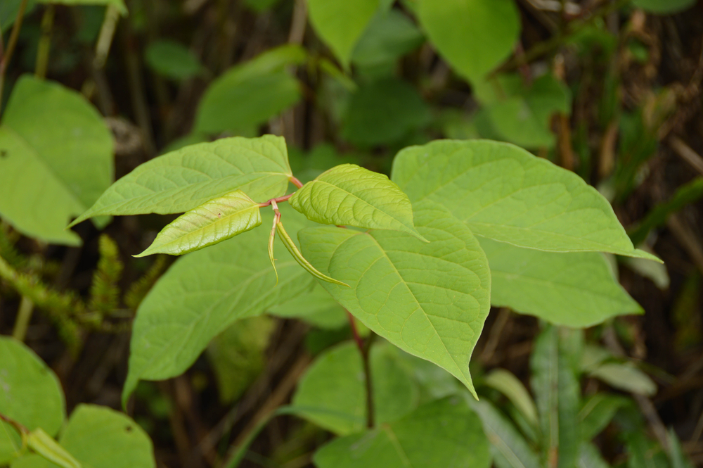 How Japanese Knotweed can affect your property